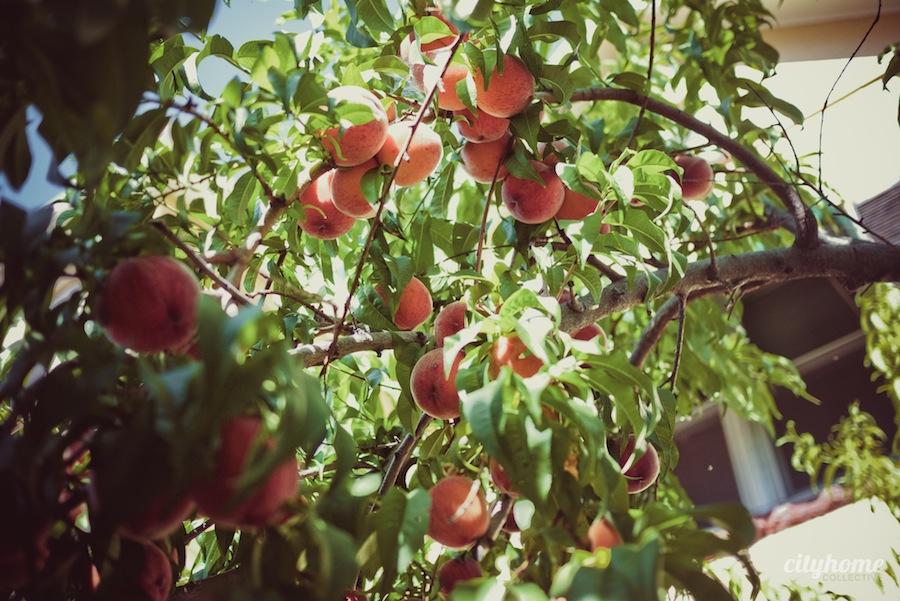 Salt-Lake-Fruit-Share-program-6